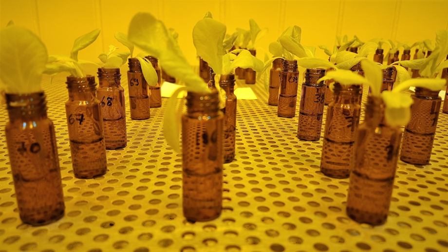 The scientists grew lettuce in their lab and fed them with nanoplastics. Picture by Abel Machado.