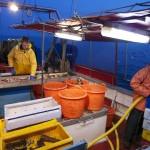 Die Fischer nehmen die Fische gleich auf dem Kutter aus. Foto: Anja Krieger